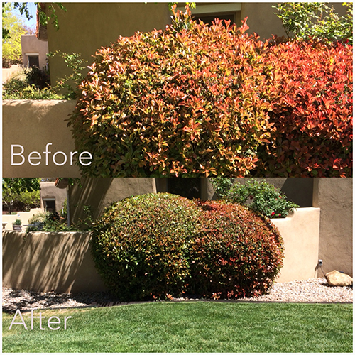 before-after-shrub